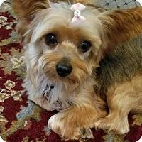 Adopt A Pet :: SaSha - Fairfax, VA