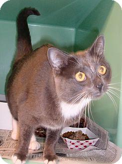 Domestic Shorthair Cat for adoption in Chesapeake, Virginia - Neko