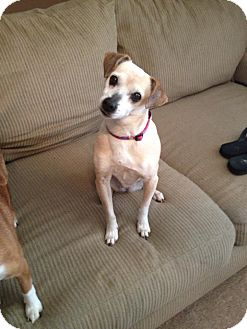 Chihuahua/Feist Mix Dog for adoption in Hagerstown, Maryland - Chloe