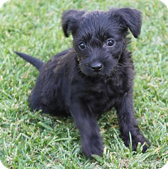 Havanese/Cockapoo Mix Puppy for adoption in La Habra Heights, California - Taylor