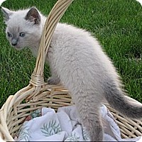 Adopt A Pet :: Powder - Sterling Hgts, MI