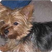 Adopt A Pet :: Shelby - Rigaud, QC