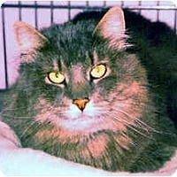 Adopt A Pet :: Miss Kitty - Medway, MA