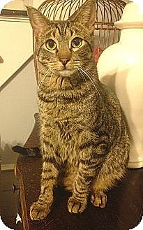 Domestic Shorthair Cat for adoption in Brooklyn, New York - Hickory, the social butterfly!