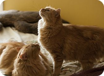 Domestic Mediumhair Cat for adoption in Hoffman Estates, Illinois - Citron and Tangerine - BONDED PAIR