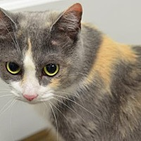 Domestic Shorthair Cat for adoption in Atlanta, Georgia - Muffett160335