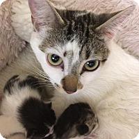 Adopt A Pet :: Meowy Cassatt - Chicago, IL