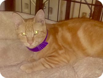 Domestic Shorthair Cat for adoption in Brooklyn, New York - Cheeto