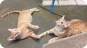 Domestic Shorthair Kitten for adoption in Merrifield, Virginia - Cayenne