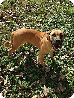 Bullmastiff/Boxer Mix Puppy for adoption in Morris, Illinois - GOLDIE GIRL
