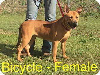 Bull Terrier Dog for adoption in Waycross, Georgia - Bicycle