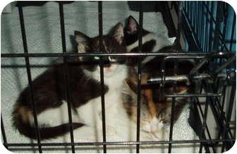 Domestic Shorthair Kitten for adoption in Westfield, Massachusetts - Daisy,Dolly,Darwin