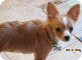 Chihuahua/Papillon Mix Dog for adoption in San Diego, California - Darcy