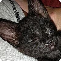 Adopt A Pet :: Bear - Harriman, NY