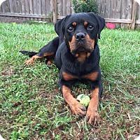 Adopt A Pet :: Jessica - Seffner, FL