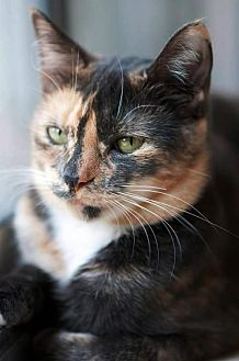 Calico Cat for adoption in Ft. Lauderdale, Florida - Abigail