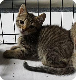Bengal Kitten for adoption in Pleasanton, California - Roo