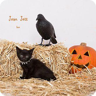Domestic Shorthair Kitten for adoption in Riverside, California - Joan Jett