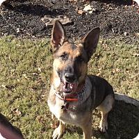Adopt A Pet :: Greta (bonded to Gunter) - Portland, ME