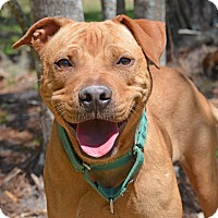 Hound (Unknown Type)/Rhodesian Ridgeback Mix Dog for adoption in Brooksville, Florida - 10310005