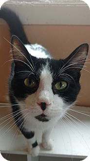 Domestic Shorthair Cat for adoption in Port Clinton, Ohio - Moo moo