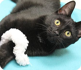 Bombay Kitten for adoption in Chicago, Illinois - Tai