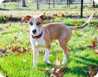 Terrier (Unknown Type, Small) Mix Puppy for adoption in Brooklyn, New York - Delightful DeeDee