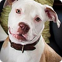 Adopt A Pet :: Gigi - Montreal, QC