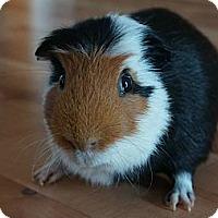 Adopt A Pet :: Twinkie - Brooklyn Park, MN