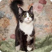 Domestic Mediumhair Cat for adoption in Fort Mill, South Carolina - Milkshake 5503M