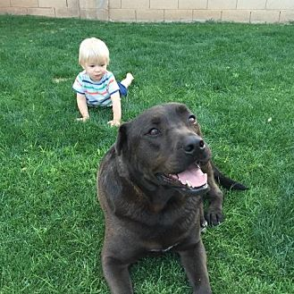 Labrador Retriever Mix Dog for adoption in Maricopa, Arizona - Hershey