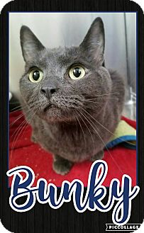 Domestic Shorthair Cat for adoption in Edwards AFB, California - Bunky