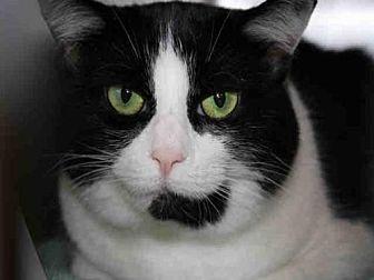 Domestic Mediumhair Cat for adoption in Hampton Bays, New York - SCOUT