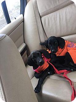 Labrador Retriever/Weimaraner Mix Puppy for adoption in Brooklyn, New York - Juno