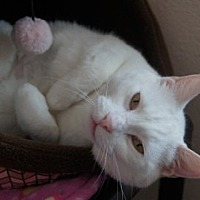 Adopt A Pet :: Snowball - Libby, MT