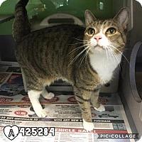 Adopt A Pet :: MUNCHKIN - San Antonio, TX