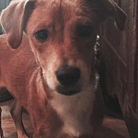 Dachshund/Terrier (Unknown Type, Medium) Mix Dog for adoption in Waldron, Arkansas - PALMER BARKLEY