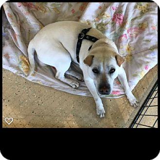 Shar Pei/Labrador Retriever Mix Dog for adoption in Fallbrook, California - Carly