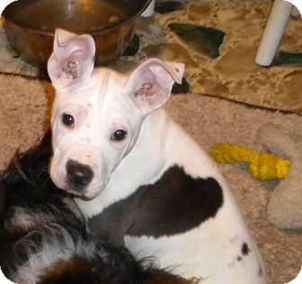 American Pit Bull Terrier/American Staffordshire Terrier Mix Puppy for adoption in Hazard, Kentucky - Bianca