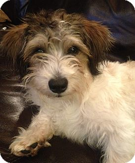 Terrier (Unknown Type, Small) Mix Dog for adoption in Mission Viejo, California - JAZZI