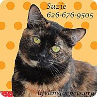 Domestic Mediumhair Cat for adoption in Monrovia, California - Cutie SUZIE!
