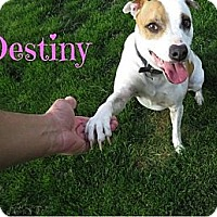 Adopt A Pet :: Destiny - Scottsdale, AZ