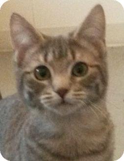 Domestic Shorthair Cat for adoption in Colfax, Iowa - Echo