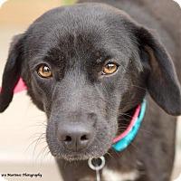 Adopt A Pet :: Whitney - Hamburg, PA