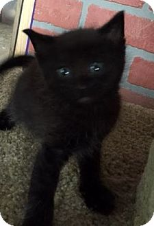Domestic Mediumhair Kitten for adoption in Porter, Texas - Crow