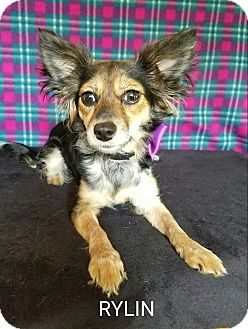 Chihuahua Mix Dog for adoption in Troutville, Virginia - Rylin
