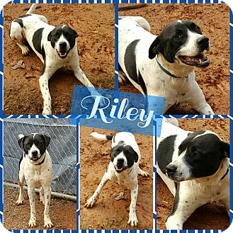 Pointer Mix Dog for adoption in Gainesville, Georgia - Riley
