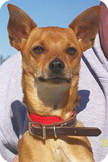 Chihuahua/Miniature Pinscher Mix Dog for adoption in Mexia, Texas - Peanut