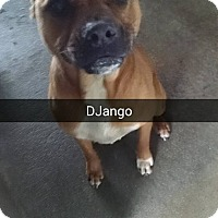 Boxer/Black Mouth Cur Mix Dog for adoption in Marianna, Florida - Django