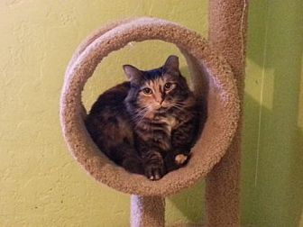 Domestic Mediumhair Cat for adoption in Tucson, Arizona - Comet